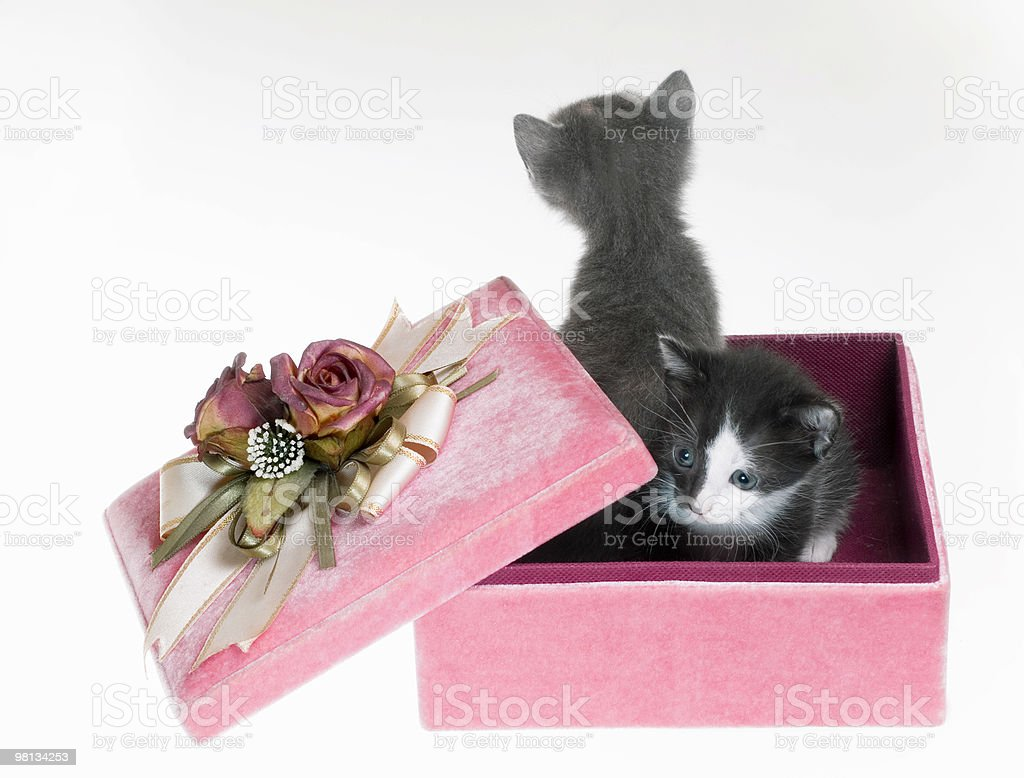 Isolated Kittens in Gift box royalty-free stock photo