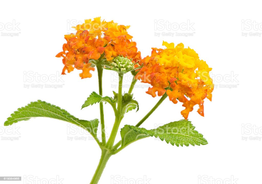 Isolated lantana flower blossoms stock photo