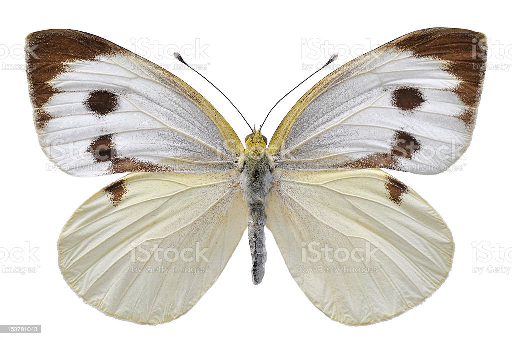 Isolated Large White butterfly royalty-free stock photo