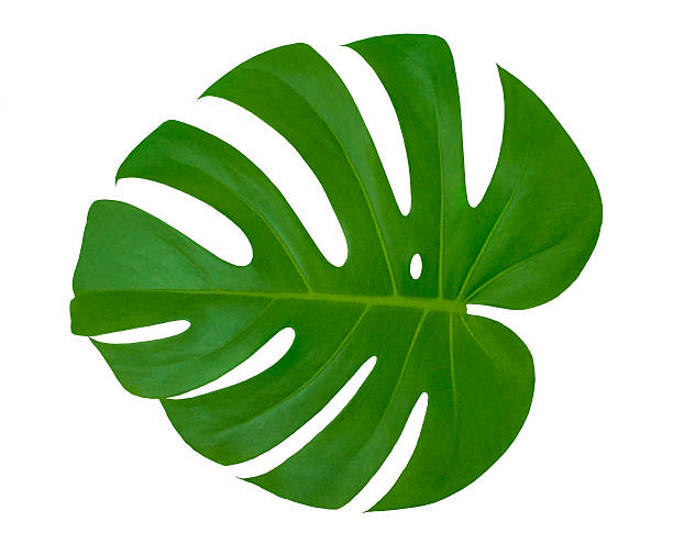 Isolated leaf Monstera plant (white background). Exotic tropical palm tree stock photo