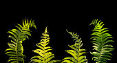 isolated leafs of fern
