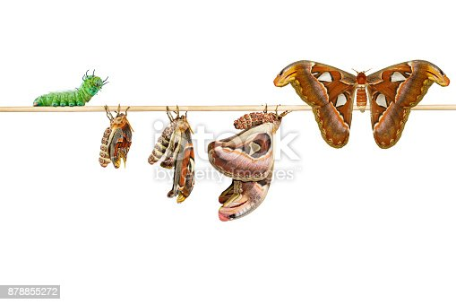 istock Isolated life cycle of female attacus atlas moth from caterpillar and cocoon on white 878855272