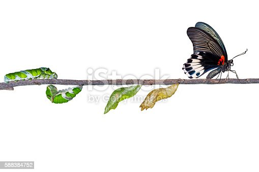 538988558istockphoto Isolated life cycle of female great mormon butterfly from caterp 588384752