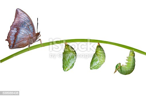 538988558istockphoto Isolated life cycle of Tawny Rajah butterfly on white 538988408