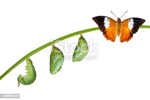 istock Isolated life cycle of Tawny Rajah butterfly on white 538988442
