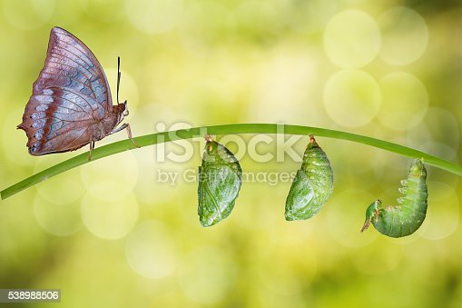 538988558istockphoto Isolated life cycle of Tawny Rajah butterfly 538988506
