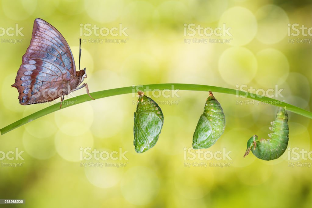 Isolated life cycle of Tawny Rajah butterfly stock photo