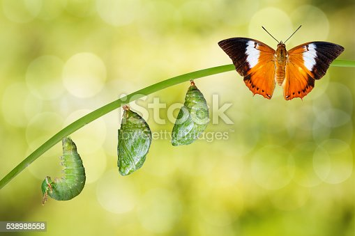 istock Isolated life cycle of Tawny Rajah butterfly 538988558