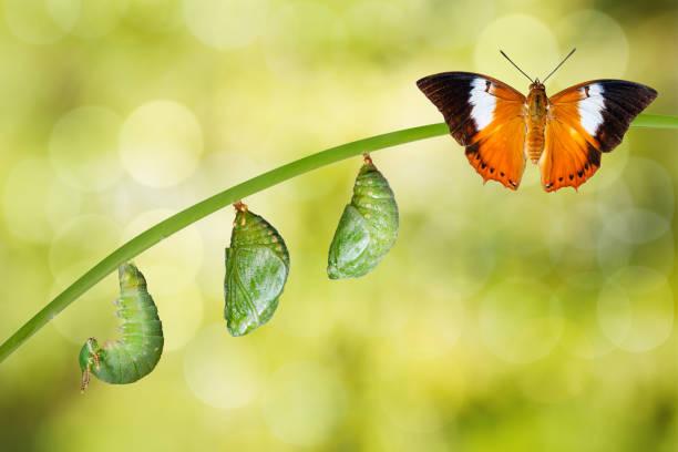 isolado ciclo de vida das borboletas fulvo e rainha cristãos das filipinas, rajah - lagarta - fotografias e filmes do acervo
