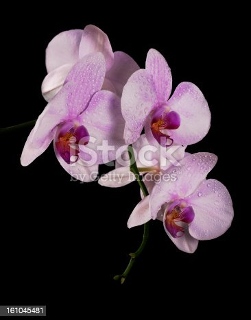 light pink orchid flowers in drops isolated on black background