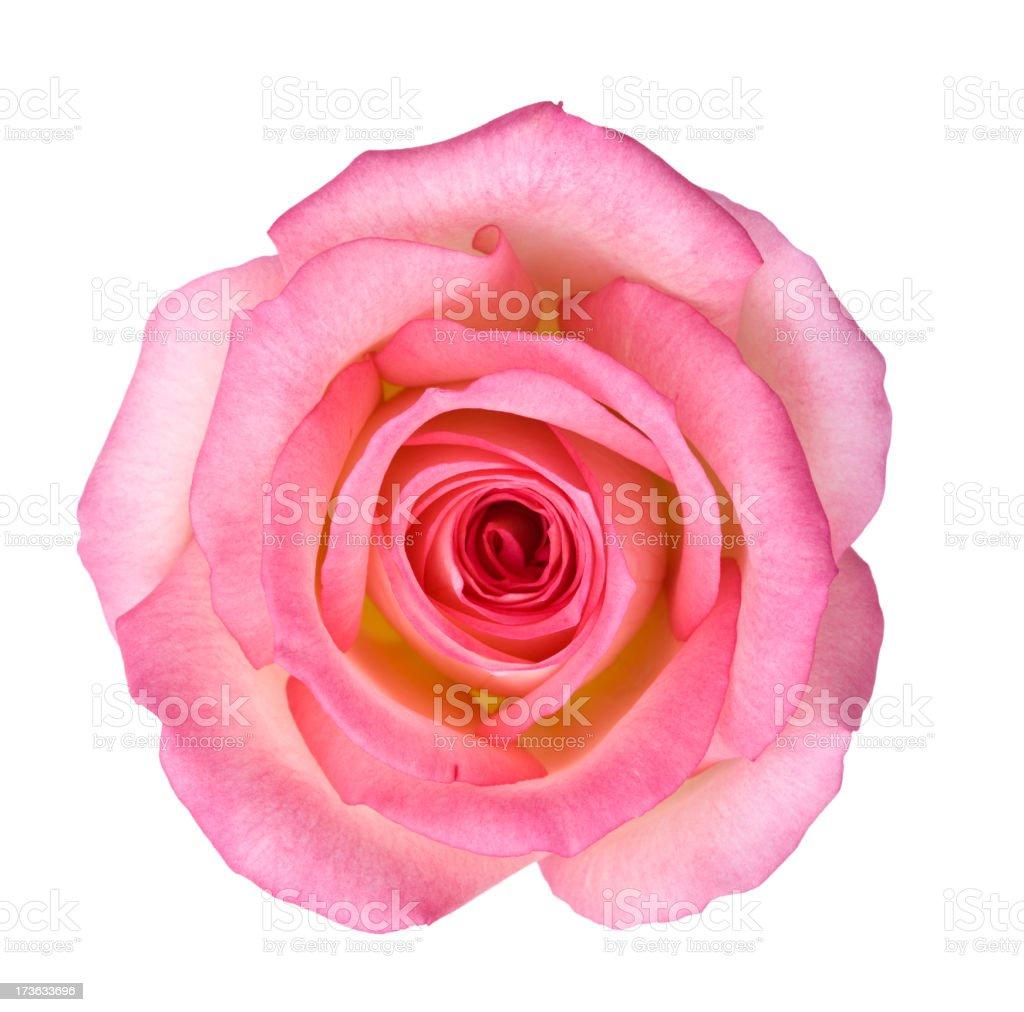 Isolated Light Pink Rose - Royalty-free Beyaz Arka Fon Stok görsel