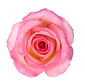 Isolated Light Pink Rose