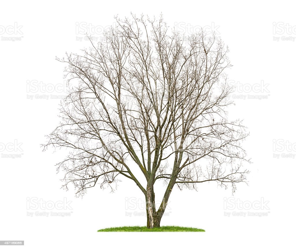 isolated  lime tree in the winter stock photo