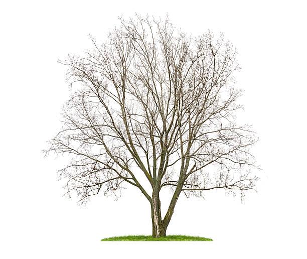 Isolé lime tree en hiver - Photo