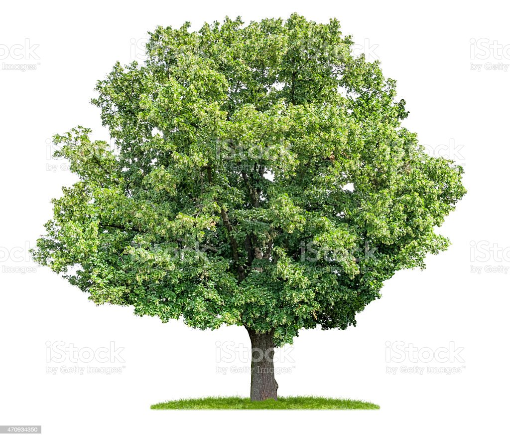 isolated lime tree on a white background stock photo