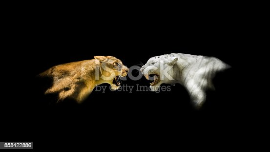 Head-shots of a white tiger and female lion roaring at each other against a black backdrop.