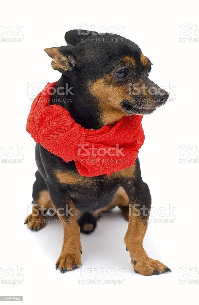 isolated little dog royalty-free stock photo