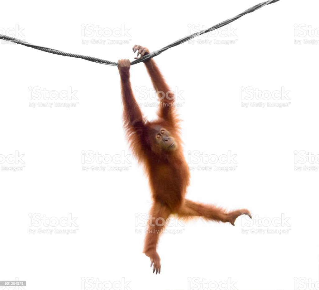 Isolated little orangutan in a funny pose stock photo