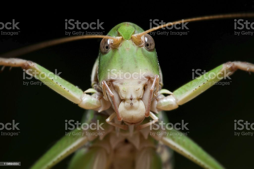isolated locust on black background, close-up royalty-free stock photo