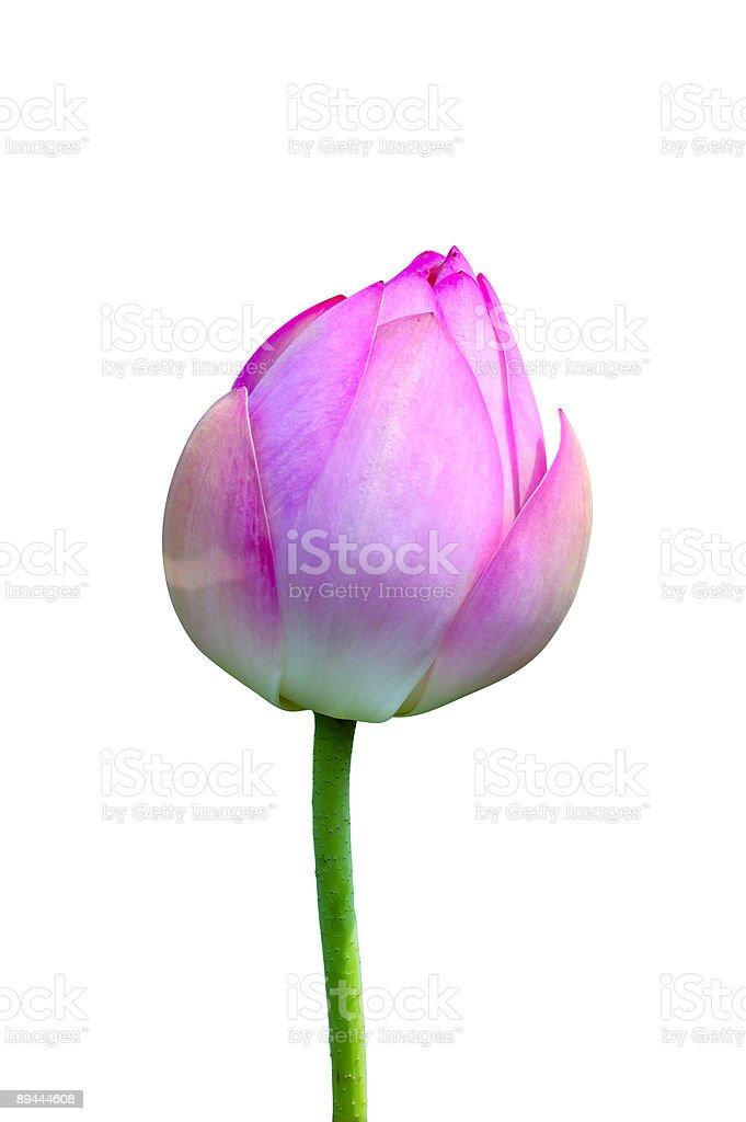 Isolated lotus bud royalty-free stock photo
