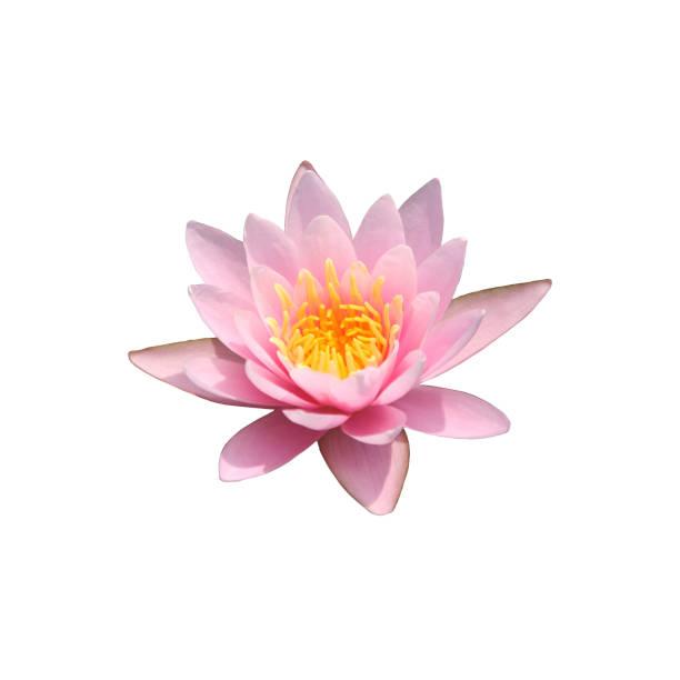 lotus seerose rosa blume draufsicht isoliert. graphische ressourcen auf weißem hintergrund - lotus symbol stock-fotos und bilder