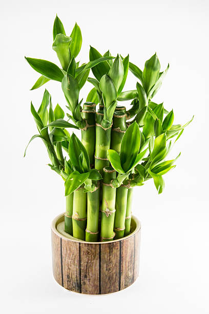 Isolated lucky bamboo plant stock photo