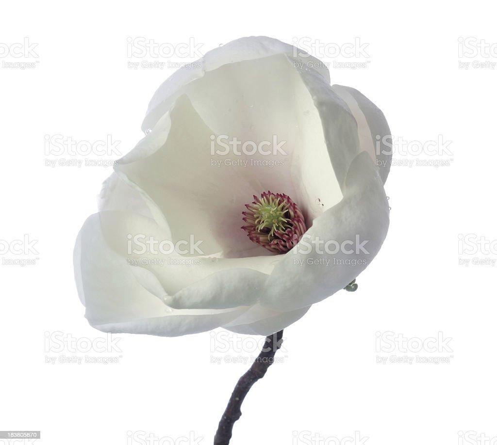 isolated magnolia on white royalty-free stock photo