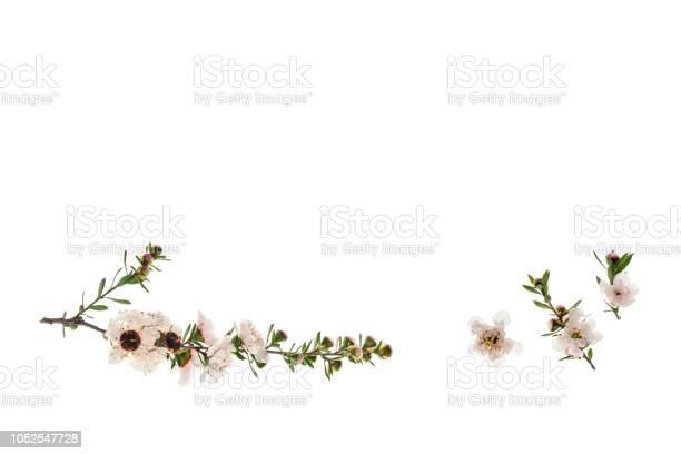 Isolated manuka flowers on white background with copy space picture id1052547728?b=1&k=6&m=1052547728&s=612x612&h=qwwfcj9xt txcyzf r2 wp5bbww gpmrhhn72oajlts=
