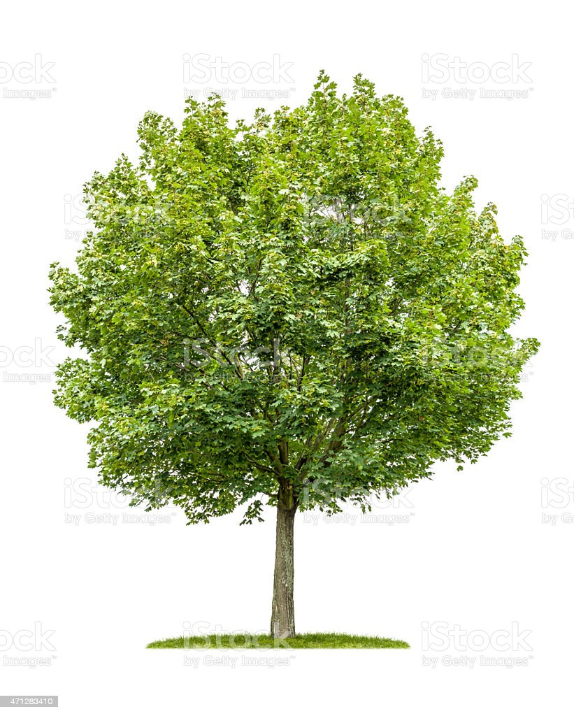 isolated maple tree on a white background stock photo