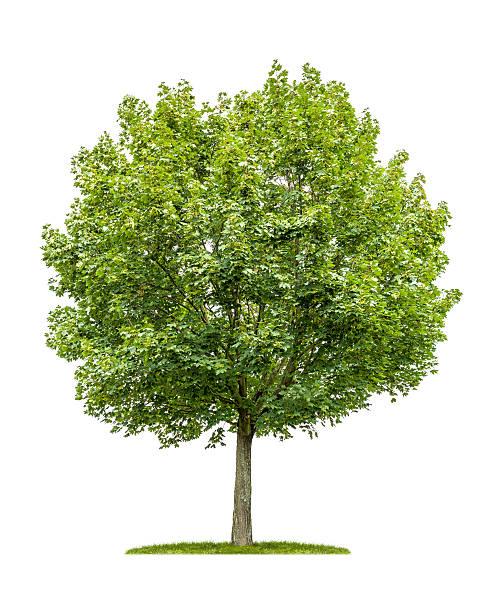 isolé érable sur fond blanc - arbre à feuilles caduques photos et images de collection