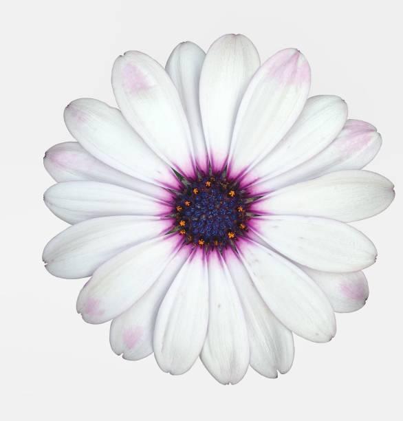 Isolated marguerite daisy flower picture id858364096?b=1&k=6&m=858364096&s=612x612&w=0&h=dbc8r jdimvnkupfm9qzgdvtrq5o7cloffs2gv3igmu=