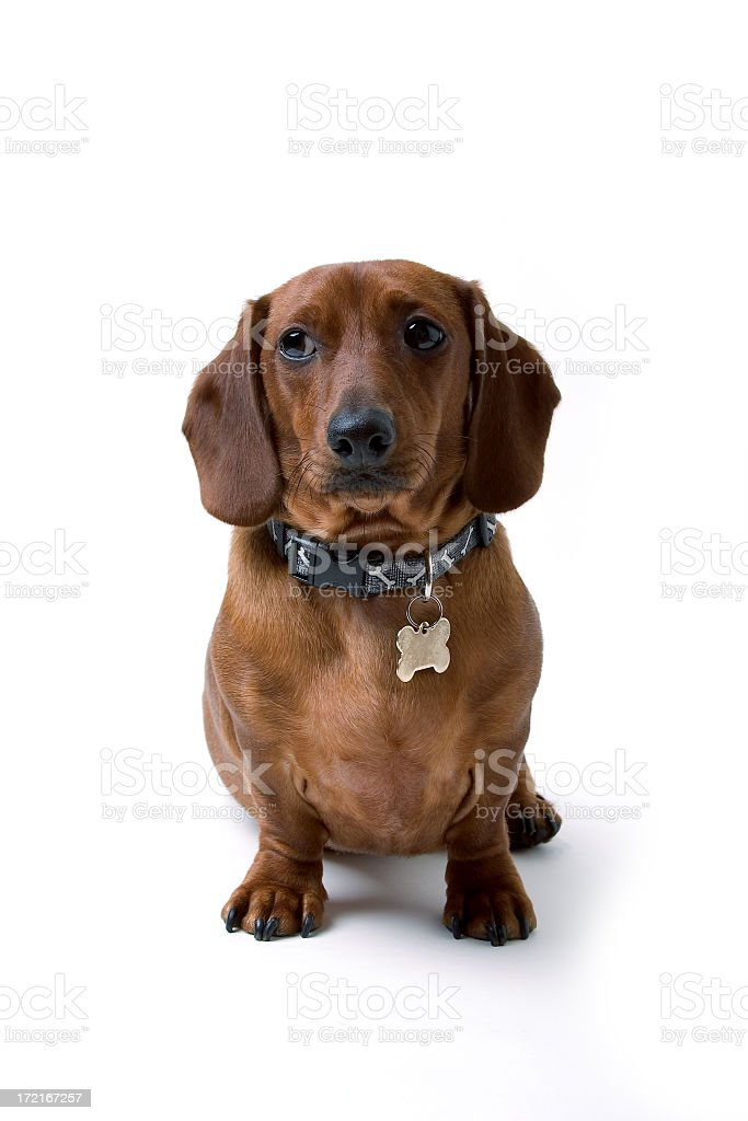 Isolated Mini Dachshund Dog royalty-free stock photo