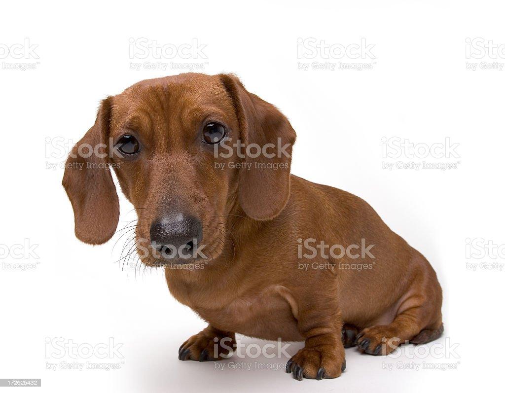 Isolated Mini Dachshund Dog stock photo