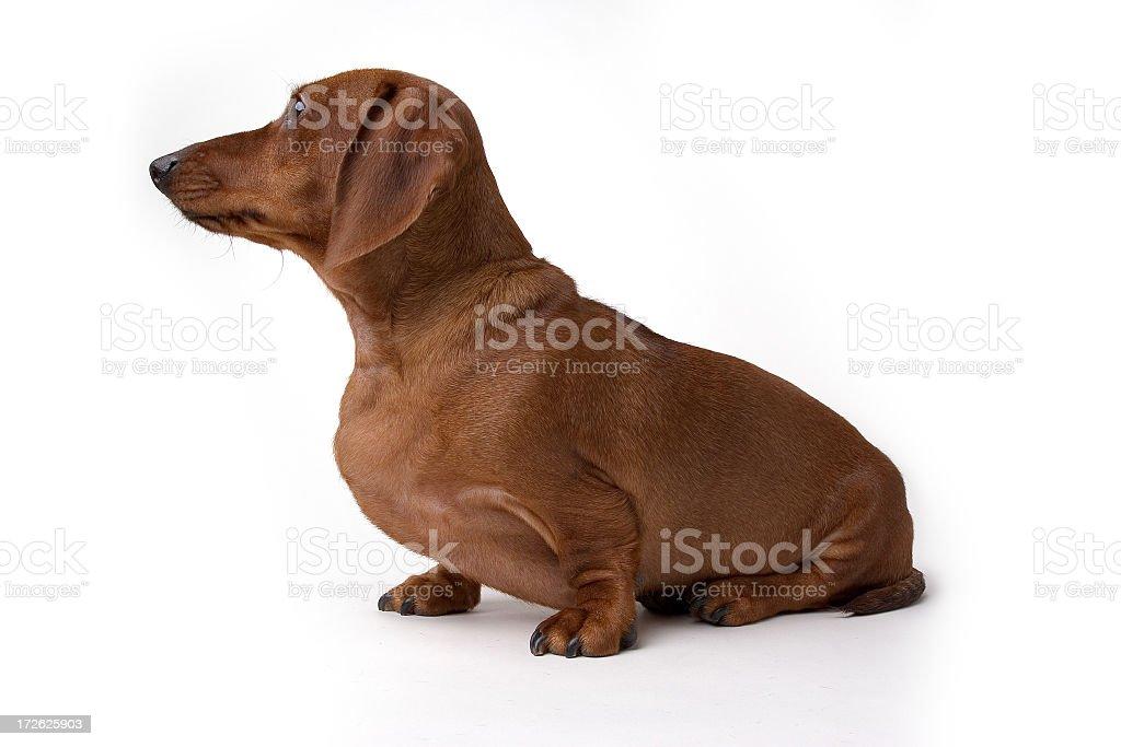 Isolated Mini Daschund Dog royalty-free stock photo