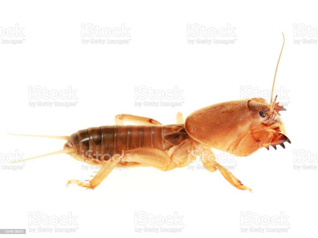 Isolated Mole Cricket stock photo