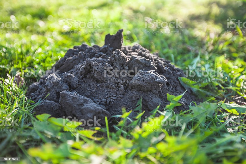 Isolated molehill in grass stock photo