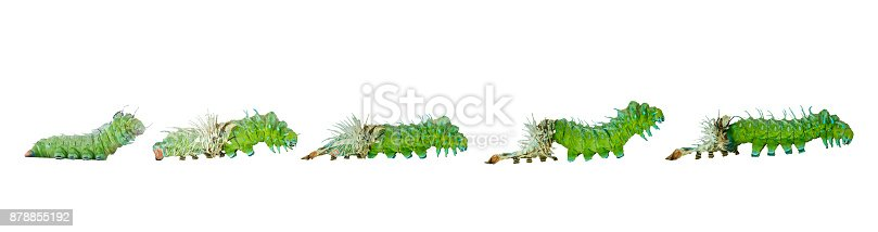 istock Isolated molting caterpillar stage of Atlas butterfly ( atlas; attacus )  on white 878855192