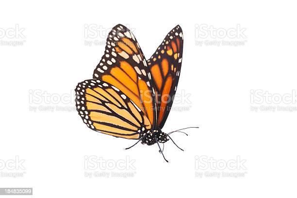 Isolated monarch butterfly picture id184835099?b=1&k=6&m=184835099&s=612x612&h=a 0cgfejvw1rwzjyowlwizlbelmfeobsixfzxougaqq=