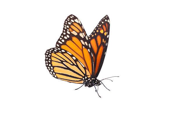 Isolated monarch butterfly picture id184835099?b=1&k=6&m=184835099&s=612x612&w=0&h=bwz5ycw9jxd0takvcentt46fhvge9ifurwtwxf scpm=