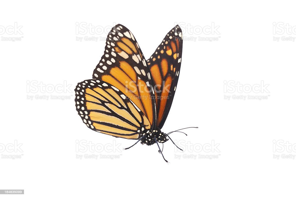 Isolated Monarch Butterfly stock photo