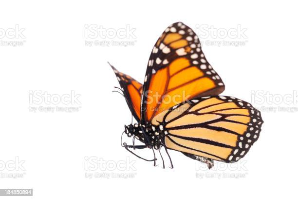 Isolated monarch butterfly picture id184850894?b=1&k=6&m=184850894&s=612x612&h=pd6kvz8cfbonl7z560gw61jtk cy8ry7fchh5gqro0k=