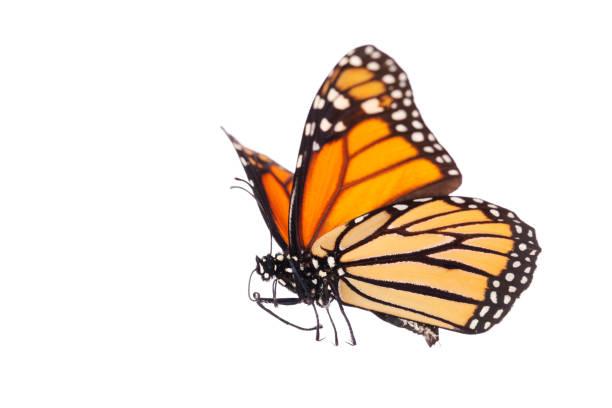 isolierte monarchfalter - schmetterling stock-fotos und bilder
