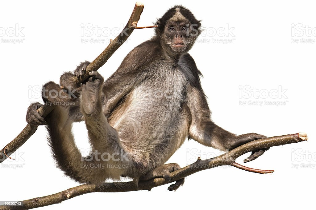 Isolated monkey on white background royalty-free stock photo
