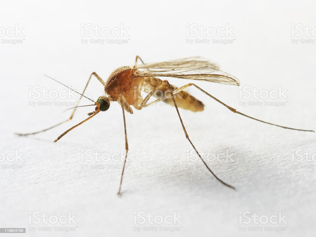 Isolated mosquito 02 royalty-free stock photo