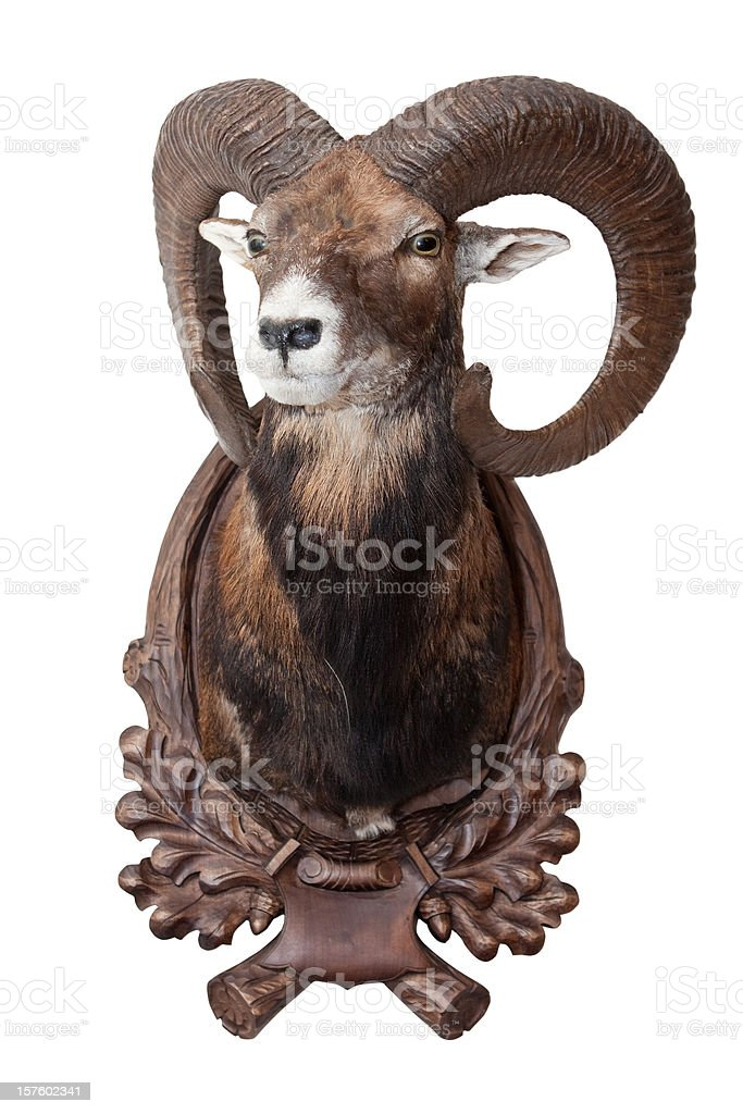 Isolated mouflon (bighorn sheep) as decoration royalty-free stock photo