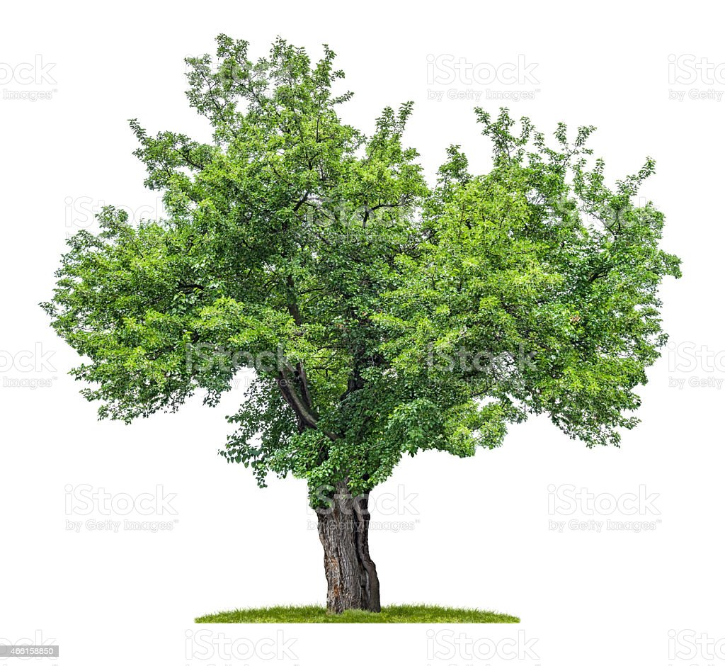 isolated mulberry tree on a white background stock photo