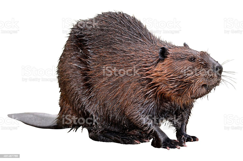 Isolated North American Beaver stock photo