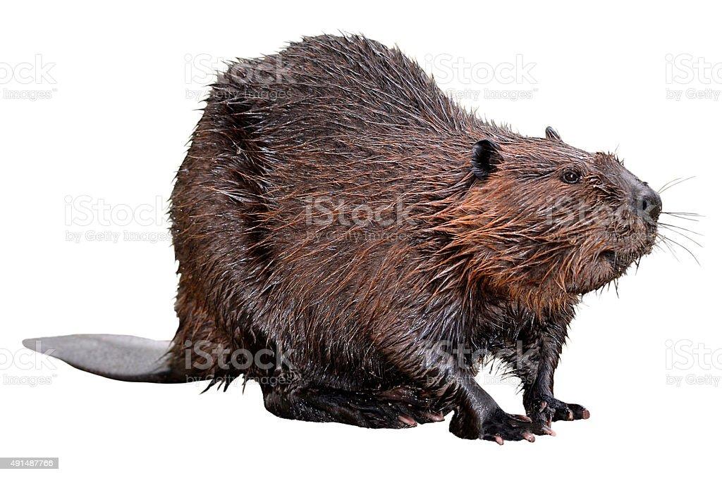 Isolierte North American Beaver – Foto