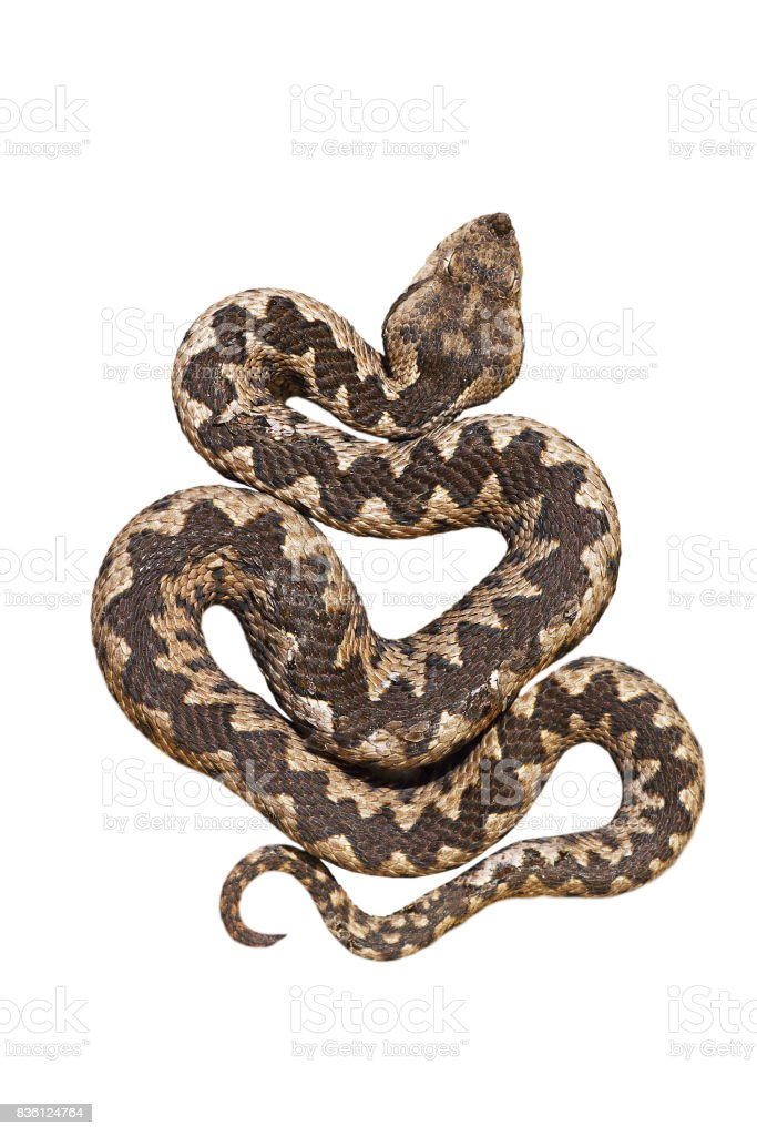 isolated nosed viper, Vipera ammodytes or the long horn adder stock photo