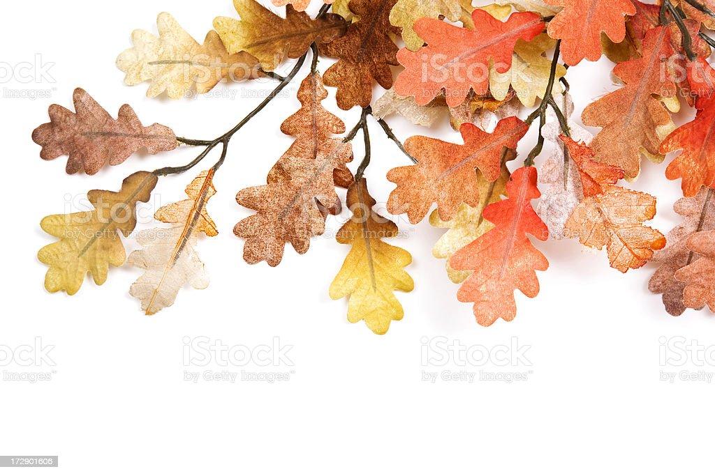 Isolated Oak Leaves royalty-free stock photo